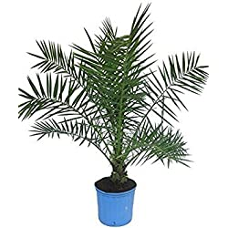 Pinkdose 15 Seeds Phoenix Roebelenii (Pygmy Date Palm) Excellent House Plant!