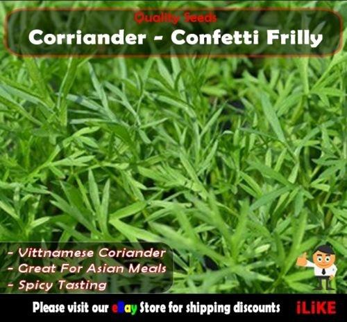 Koriander Confetti Frilly 50 Samen Minimum. Gemüsegarten Herb. Veitnamese.