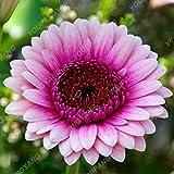 100pcs Seltene Gerbera Samen Bonsai Topfpflanze Blumensamen Familiengarten Mischfarben Perennial Chrysanthemum leicht anzubauen Anlage 3