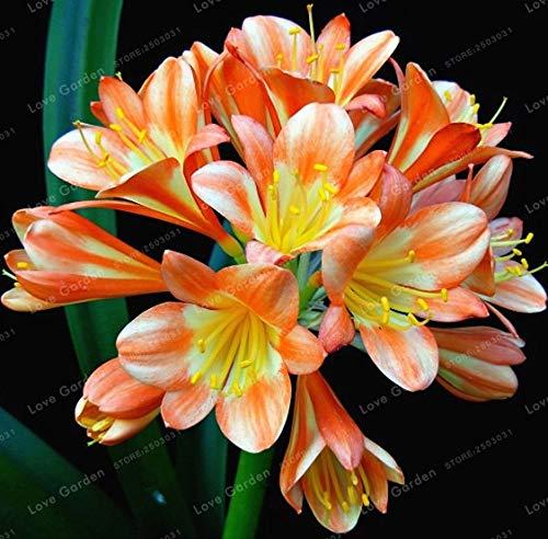 Bloom Green Co. Hot Verkauf Klivie Bonsai Herrliche Bonsai Seltene Bush Lilie Blume Bonsai DIY Hausgarten mit hohem Zierwert 100 Stück: 4