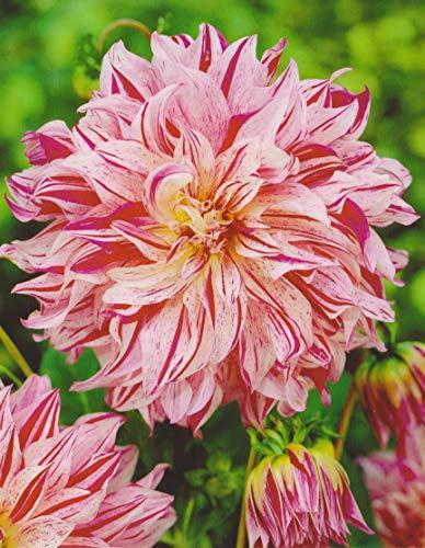Schmuck Dahlie Bristol Stripe Knolle Blumenzwiebeln (3 Knollen) - Bristol Stripe