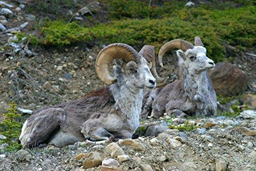 The Poster Corp Robert Postma/Design Pics - Stone Mountain Sheep Stone Mountain Provincial Park British Columbia Photo Print (43,18 x 27,94 cm) (Stone Park Mountain)
