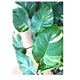 Money Plant (Big Leaves) Rolling Nature Money Plant Good Luck Plants Indoor Oxygen & Air Purifier Plant