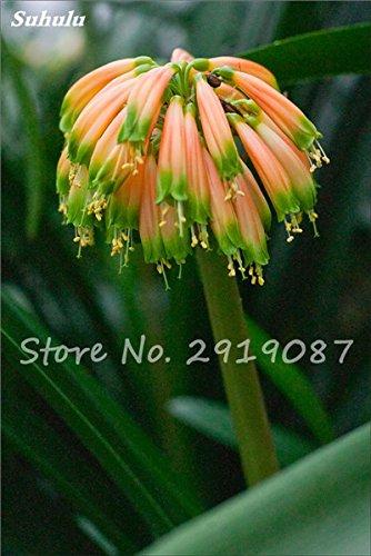 100 Pcs Clivia Graines bon marché Clivia Fleurs Mix Couleurs Bonsai Balcon fleur pour jardin meilleur cadeau pour les enfants So Beautiful 6