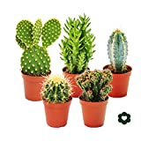 5 of the most popular cactus in a setIdeal to start your new collection.  This set includes 5 different cactus in a 5.5cm pot selected by us.Each cactus is labelled with its name. Unfortunately the varieties cannot be selected by the buyer. The selec...