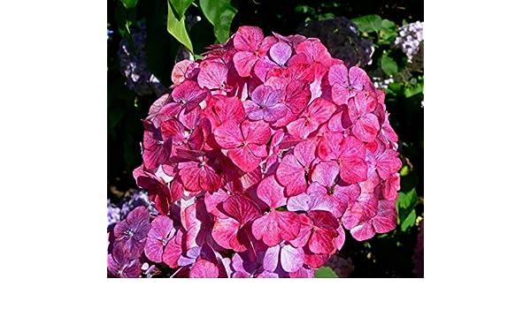 Hydrangea /'Preziosa/' shrub in 9cm pot