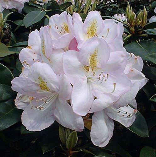INKARHO - Großblumige Rhododendron Gomer Waterer 25-30cm - Alpenrose