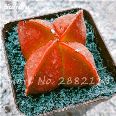 Succulentes graines fraîches 200 Pcs étoile à cinq branches charnus Graines rares Sempervivum Mix-types Fleurs Succulentes Plantes Bonsai 18 Potted