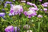 Scabiosa, fiore puntaspilli - mix di colori - semi