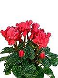 Alpenveilchen rot - Pflanzen mit bezaubernden Blüten