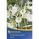 Kiepenkerl Blumenzwiebel 'Ismene' | weiß | duftend intensiv | mehrjährig | 2 Zwiebeln