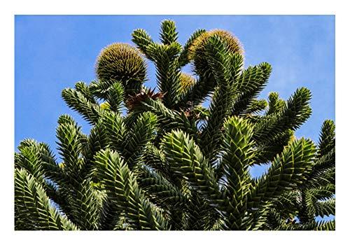 Die Andentanne/Chilenische Schmucktanne (Araucaria araucana)