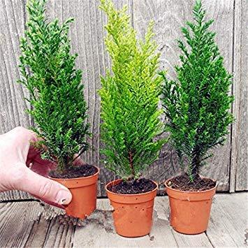 PinkdoseDavitu 50 STÜCKE Italienische Zypresse Baum Samen Cupressus Sempervirens Hausgarten Bonsai Pflanzen Samen