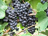 Weinrebe - Weintraube - Vitis vinifera - Isabella - Erdbeeraroma - pilz u. reblausresistent - 80-100 cm