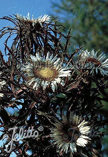 FERRY Bio-Saatgut Nicht nur Pflanzen: Carlina acaulis simplex e Samen Weitere nötig? Stellen