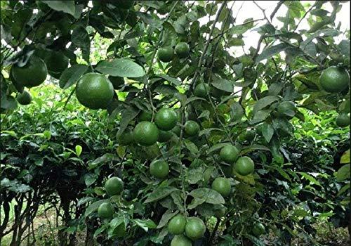 PLAT FIRM GERMINATIONSAMEN: 20 Zitrone Samen: Frucht Meyer-Zitronenpflanzen Exotische Samen Linde Lemon Fresh Pflanzen 20 Samen