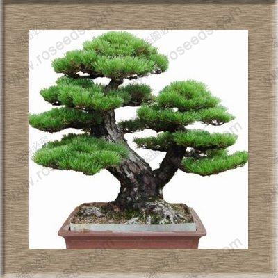 Immergrüne Baumsamen Japanische Kiefer Bonsai-Baum-Samen Holly Blatt Kiefer Samen 100 PCS/bag Schwarz