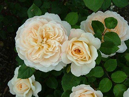 Pianta di rosa CROCUS rose rosai rosaio fiori piante rose giardino cespuglio ros