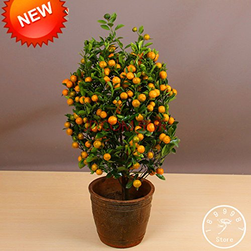 Perte Promotion! Arbres 100Seed / Lot Balcon Patio Potted fruits Graines Plantées Kumquat Graines d'Orange Seeds Tangerine Citrus, # 95K1S0