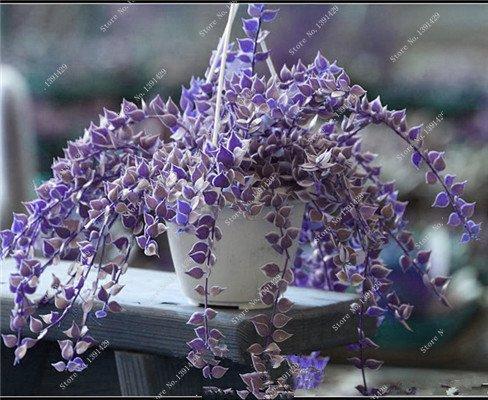 Multi Color Seed 100% Vrai Parthenocissus tricuspidata Seed, japonais Creeper Flowerpot Seed Pack Professionnel 20 Pcs / Sac