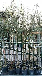 albero alberi pianta piante di ulivo ulivi olivo INNESTATO 3 anni leccino,ascolane,frantoio