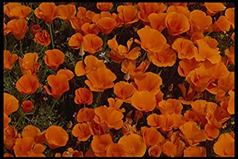 699042 California Poppies In Bloom Lancaster California A4 Photo Poster Print 10x8