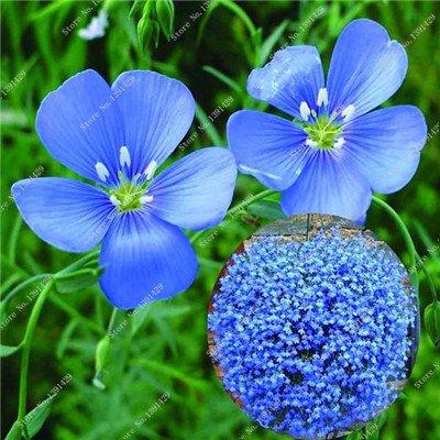 Bleu Fleur de Lin Graine vivace Fleur Graine Quatre Saisons Fleur plantes ornementales tropicales en plein air Bonsai Lin Semilla 100 Pcs 4