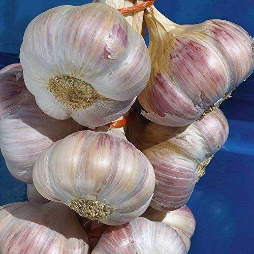 IDEA HIGH Live Seeds Lot de 30 graines d'ail de 3 Ampoules Edenrose Ail Planting Now