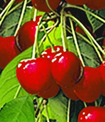 BALDUR-Garten Säulen-Kirschen 'Stella', 1 Pflanze, Prunus avium von Baldur-Garten bei Du und dein Garten