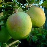 Säulenapfel Green Sensation knackiger Apfel Säulenobst Terrassenobst 80-120 cm im 7,5 Liter Topf