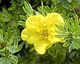 Potentilla fruticosa Kobold - Fingerstrauch Kobold - Fünffingerstrauch -