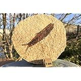 fs9410: Estados Unidos eoceno, fósiles Peces (Knightia Alt), A-Grade