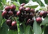 Fruchtbengel, Süßkirsche Skeena, Prunus avium, groß, sehr fest, süßlich, selbstfruchtbar