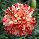 Nelke - Dianthus Orange Sherbet - Dianthus caryophyllus - 50 Samen
