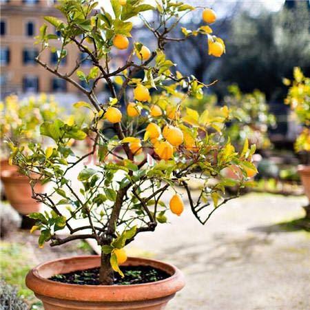 Yukio Samenhaus - Mandarinenbaum (Citrus reticulata) Obstsamen Bonsai Samen winterharte Sorte Fruchtpflanzen Samen Orangenbaum (20 Samen)