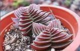 CRASSULA Capitella thyrsiflora ROUGE PAGODE graines de cactus succulente Livraison...
