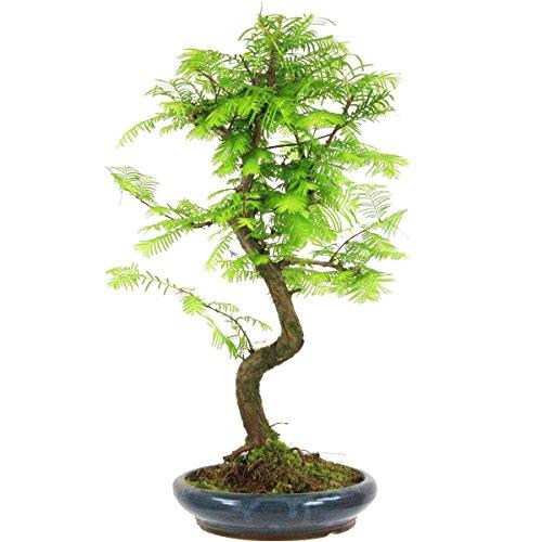 metasequoia-bonsai-10-ans-46cm