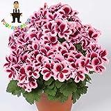Shopmeeko 20pcs Geranium Pflanzen mehrjährige Blumen Pflanzen Pelargonium Peltatum Blumen vergossen Geranium Pflanze Bonsai Pflanzen: gelb
