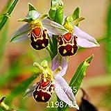 100 Samen seltene Orchidee mit Bienförmigen Blüten
