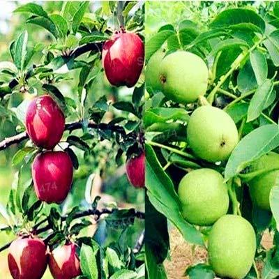 Casavidas 100pcs / bag Der Pecan Bonsai Walnut Tree Garten Obst Pflanze Gesunde Nüsse Jahresergebnis Amerikaner: Red
