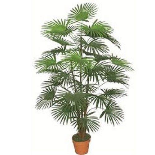 Portal cool 20pcs palm semi bonsai seeds piante perenni giardino primavera piantare casa