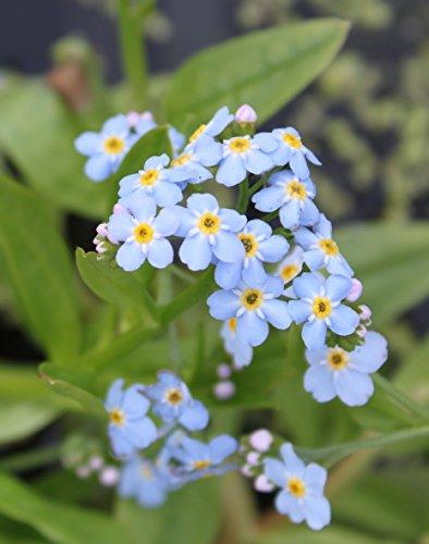 4er-Set im Gratis-Pflanzkorb - Myosotis palustris - Sumpfvergißmeinnicht, hellblau - Wasserpflanzen Wolff