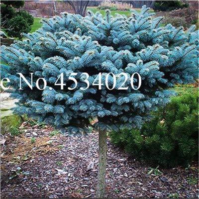 AGROBITS Saat: 50 Stück Rare Fichte Evergreen Tanne Pflanze Bonsai Topf Pine Weihnachtsbaum für Gartenpflanzen: 14