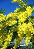 TROPICA - Frühe Schwarzholz-Akazie ( Acacia decurrens ) - 50 Samen