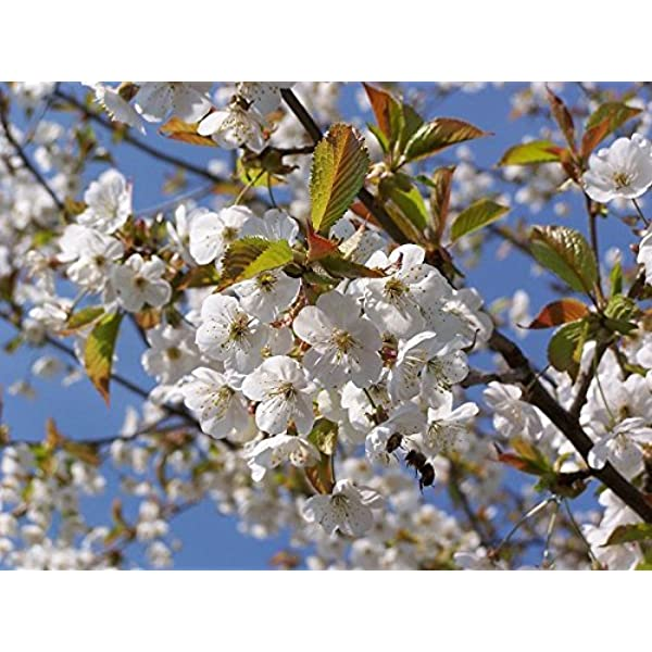 3 Wild Cherry Trees 40 60cm Stunning Blossom Edible Cherries Wild Bird Food 3fatpigs Amazon Co Uk Garden Outdoors