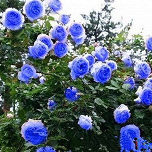 Acecoree Samen Haus-100 Stück Rare Kletter-Rose Blumensamen winterhart mehrjährig Rosen Pflanzen Garten Balkon Dekorative Hibiscus Blumensamen