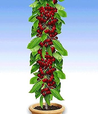 """BALDUR-Garten Säulenobst-Duo """"Birne & Kirsche"""",2 Pflanzen von Baldur-Garten bei Du und dein Garten"""