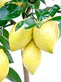 Lemon Tree (Four Seasons)