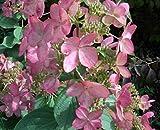 Rispenhortensie Pinky Winky® - Hydrangea paniculata Pinky Winky®