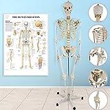 Anatomie Skelett 181.5 cm | inkl. Schutzabdeckung, Standfuss und Lehrgrafik Poster | Lebensgroß Menschliches Modell mit Ständer, Lehrmittel, Lehrmodell